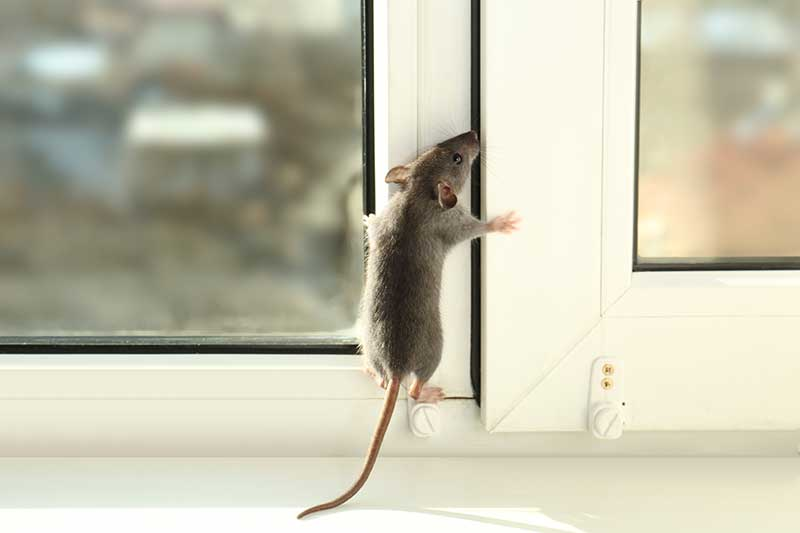 How To Get Started With Rodent Droppings Cleaning Process