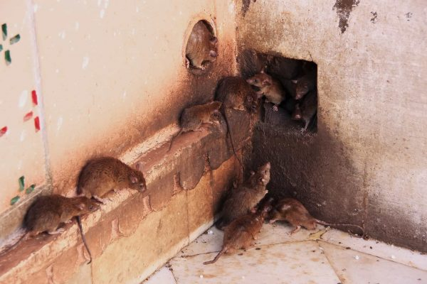 Tips For Disinfecting Rat Feces